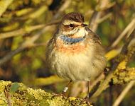 Bluethroat Spurn © Dave Tucker