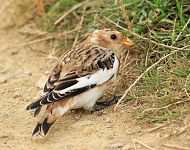 Snow Bunting on Filey Brigg © Dan Lombard