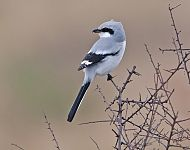 Great Grey Shrike © Steve Race