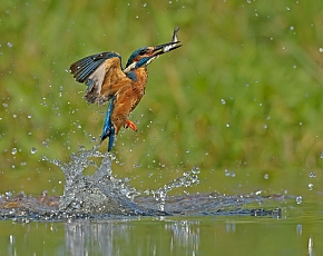 2021 Diving Kingfisher Photography Experience