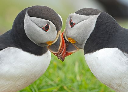 Puffin Passion
