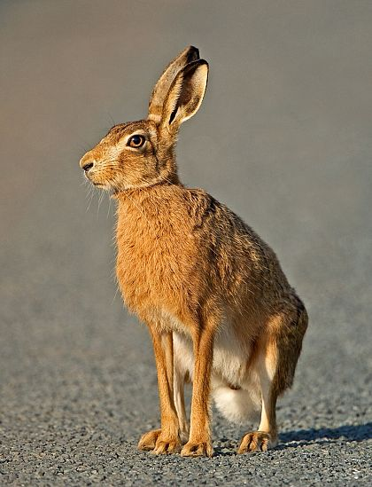 Curious Hare