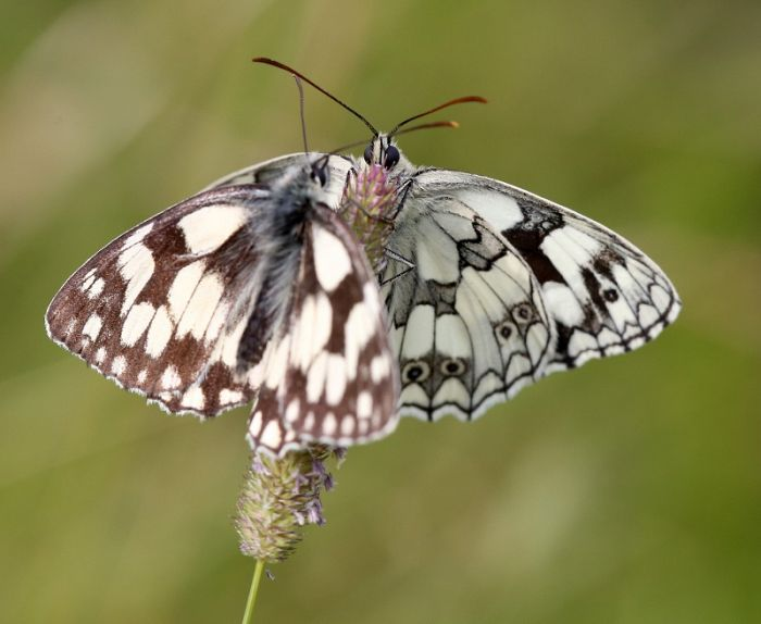 Marbled Whites gathering to roost © Dan Lombard