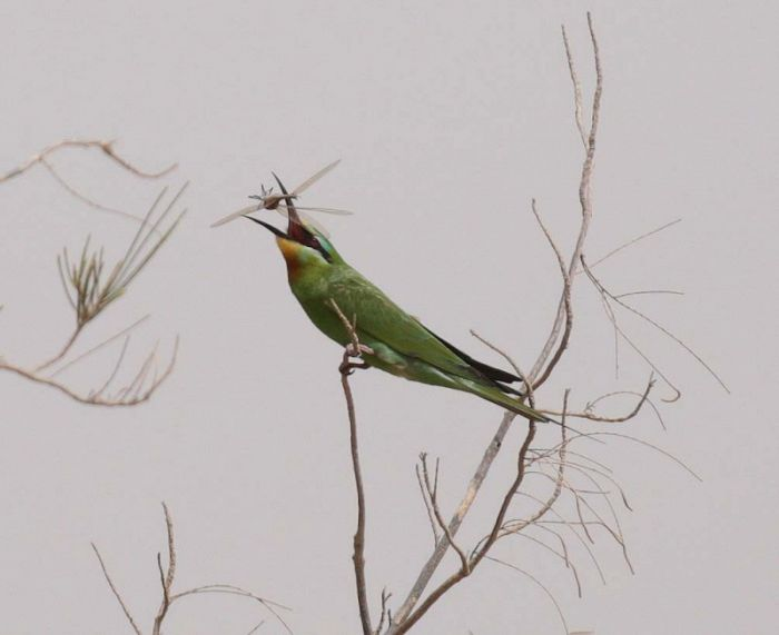 Blue-cheeked Bee eater © Richard Baines