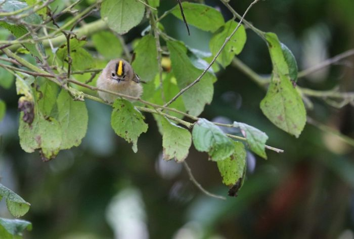 Goldcrest © Richard Baines