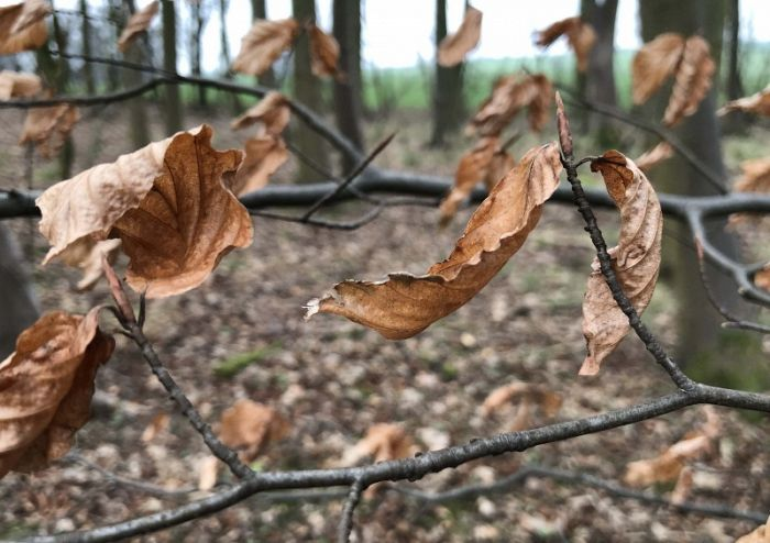 Beech Leaves copper curls with their long pointed fagus buds © Richard Baines