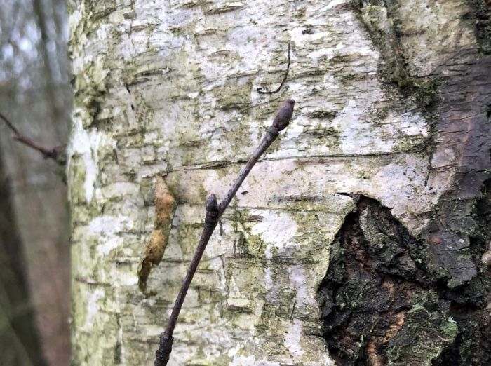 Silver Birch bark and buds © Richard Baines