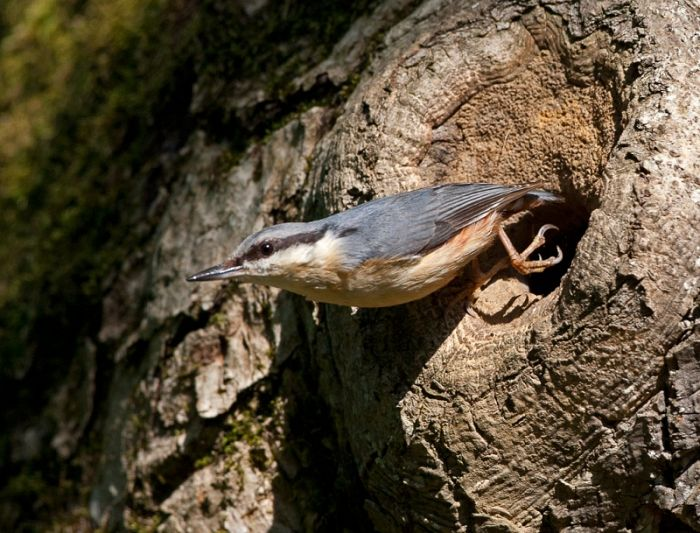 Nuthatch emerging from a nest showing the mud plastering around the entrance © Steve Race