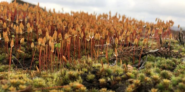 Dwarf Haircap, a forest of sporophyte © Richard Baines