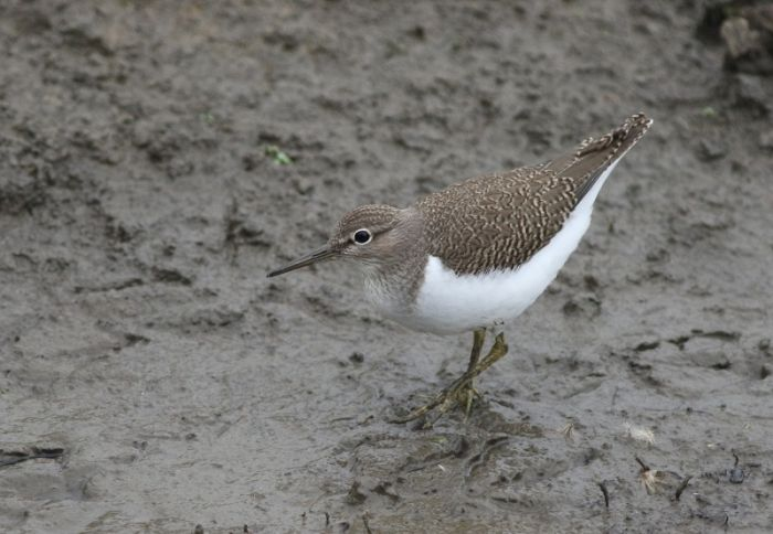 Common Sandpipers were very showy from the new hide - no binoculars needed!