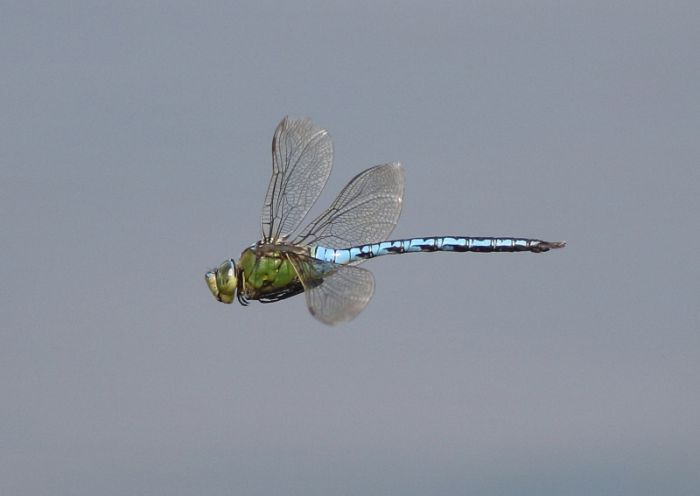 Emperor dragonflies were a bonus by the pond-dipping platform