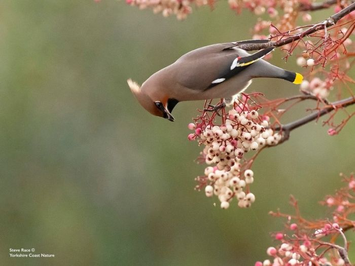 Waxwing in Scarborough 2019 © Steve Race