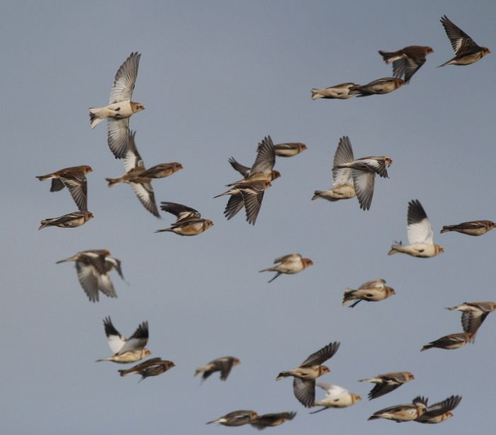 Snow Buntings – late autumn vismig gold! © Mark Pearson
