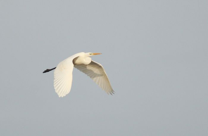 Great Egret – once a mega rarity, now annual in small numbers © Mark Pearson