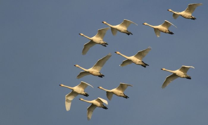 Whooper Swans are one of the star species of autumn vismig here © Mark Pearson