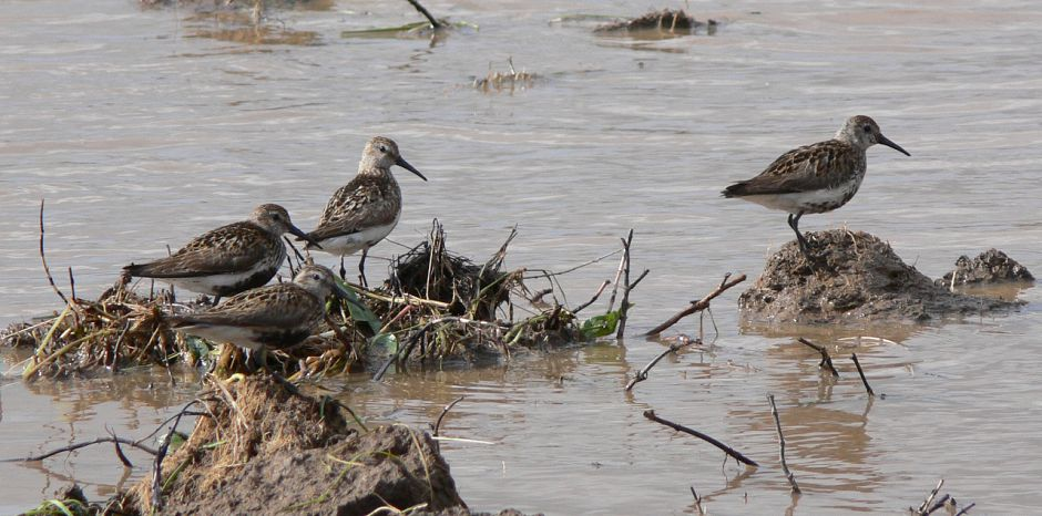 My favourite Dunlins, the four that landed within 30 minutes of starting work