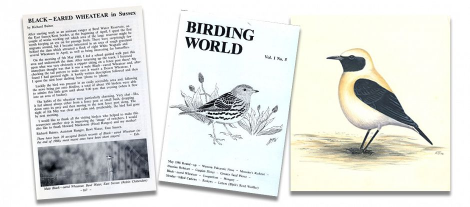 Black-eared Wheatear article and drawing by Richard Baines