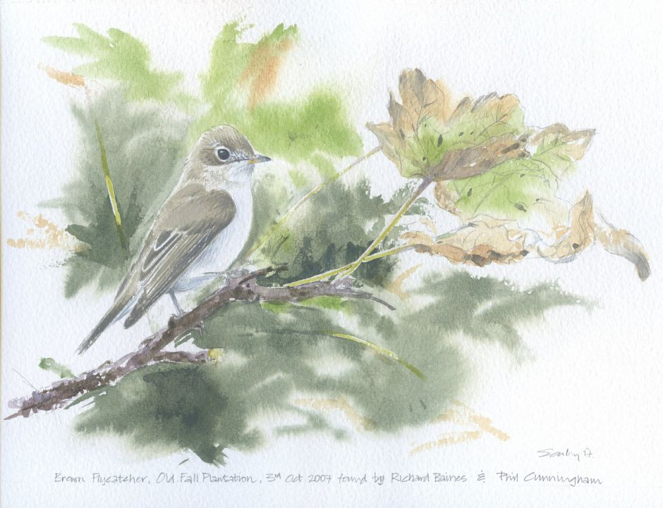 Asian Brown Flycatcher a painting of the Flamborough bird by Ray Scally